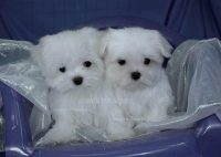Maltese Puppies For Sale In Iowa Maltese Breeders And Information