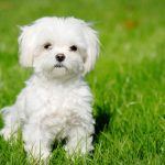 Everything To Know About Miniature Maltese Dogs