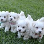 Maltese Breeder's Guidelines